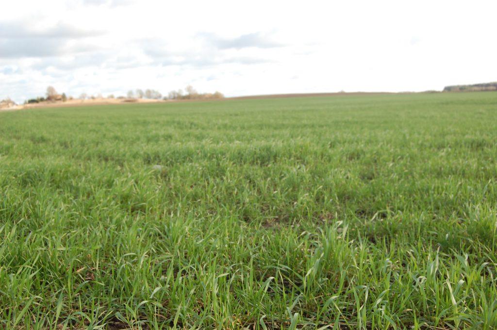 Sausiui einant į pabaigą ūkininkų laukai žaliuoja tarsi ankstyvą pavasarį. Autorės nuotr.