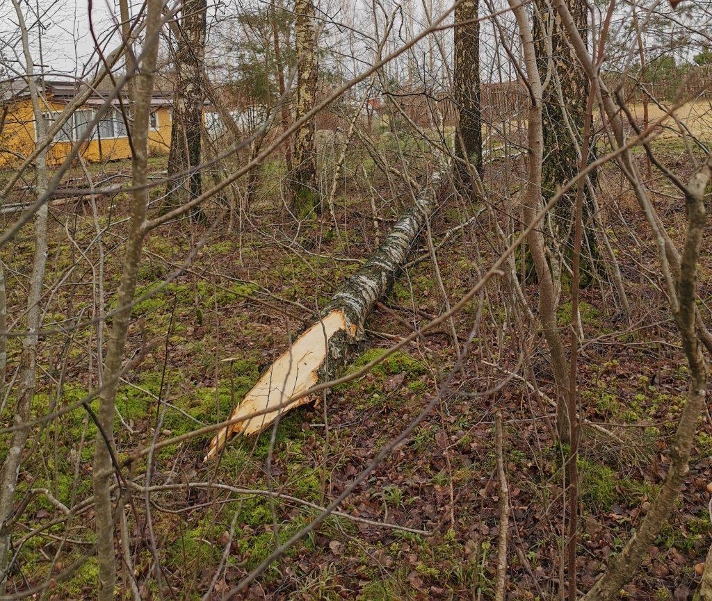Virsdamas medis elektros laidus nutraukė Vydmantų seniūnijos Parąžės kaime.