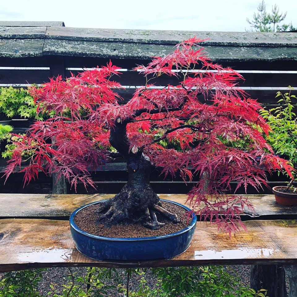 Štai tokį įspūdingą klevo bonsą šiomis dienomis galima pamatyti Japoniškame sode. Japoniško sodo nuotr.