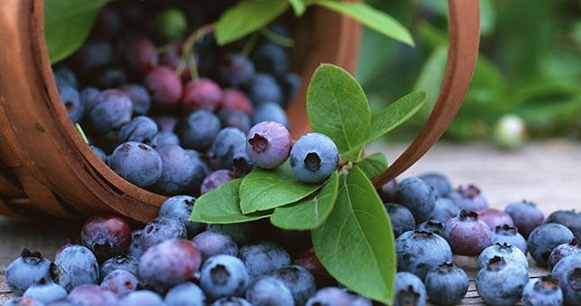Mėlynės – vienos iš naudingiausių uogų, naudingos net sergantiems cukriniu diabetu.