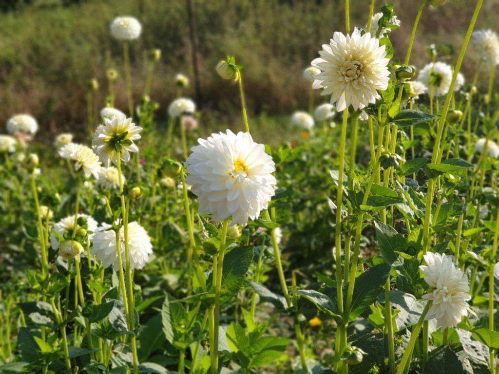 Vienos gražiausių lietuviškų gėlių - jurginai.