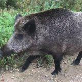 Praėjusią savaitę Darbėnų seniūnijos Žalimų miške sumedžiotam šernui buvo nustatytas kiaulių maras. Asociatyvi nuotr.