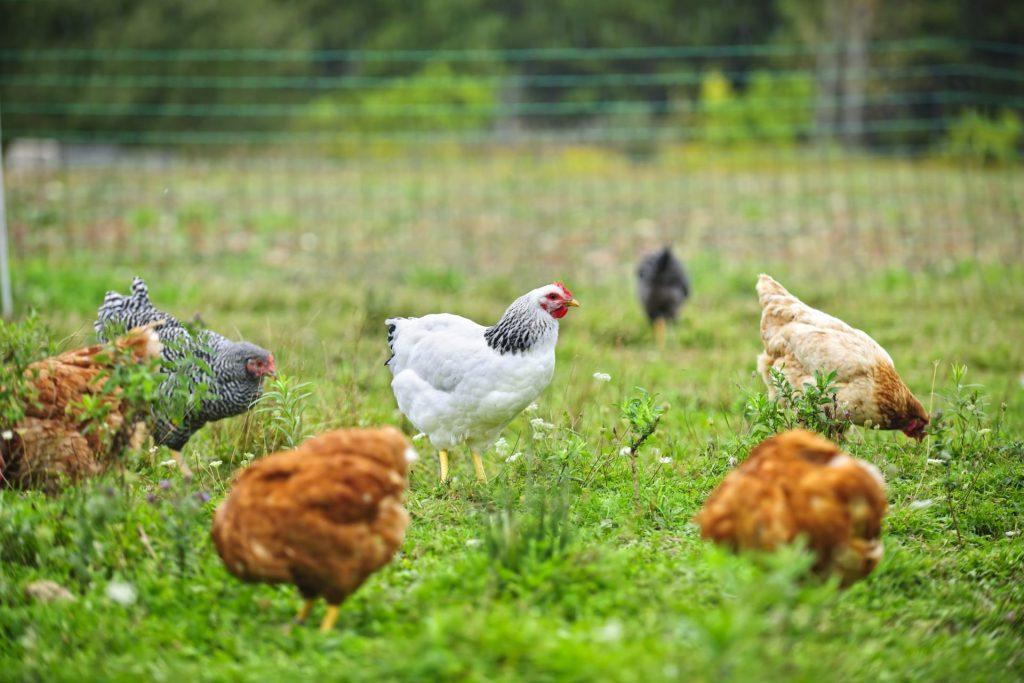 Tos daržovės, kurių ūkininkai nepardavė, atiteko naujai įsigytoms vištoms. Asociatyvi nuotr.