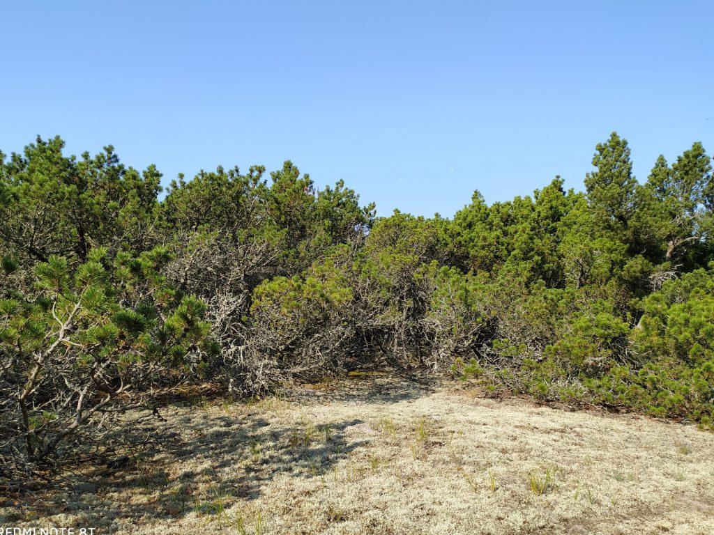 Kalninės pušies medynai. Valstybinės miškų urėdijos nuotr.