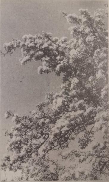 """Baltoji pūga. 1985 m. gegužės 21 d. """"Švyturys"""". Jono Šimkaus nuotr."""