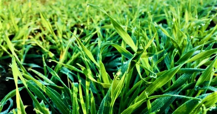 Pavasario šalčiai - vienas iš ekstremalių reiškinių žemės ūkyje.