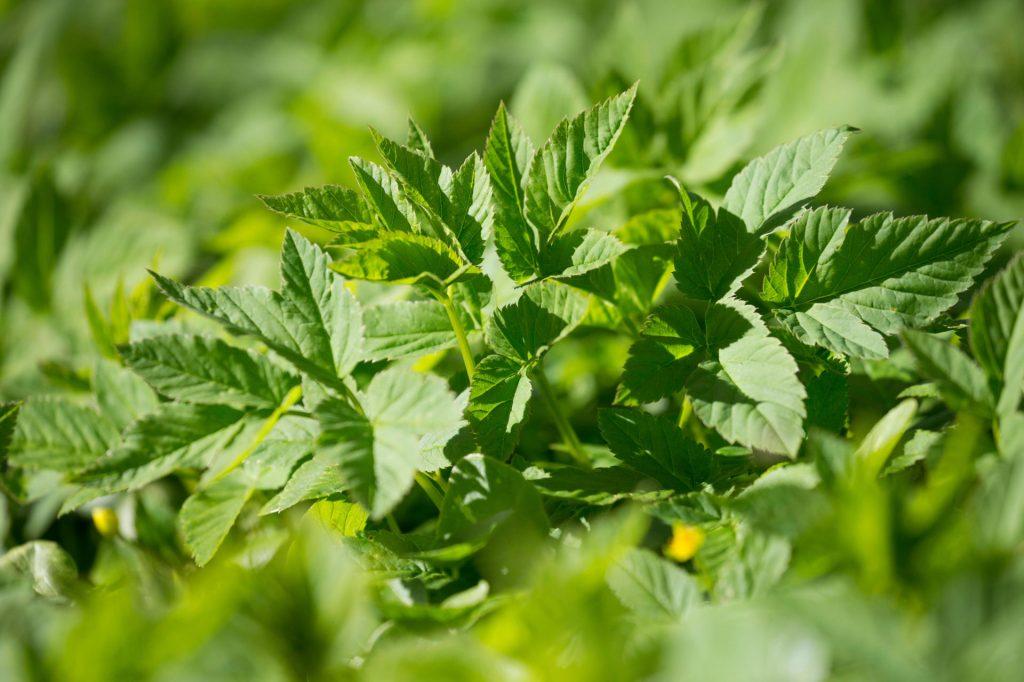 Garšva labiau žinoma kaip visli piktžolė, bet jos jauni pavasariniai lapeliai turi itin daug naudingųjų medžiagų.