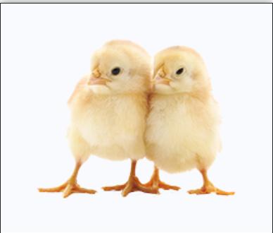 Rumšiškių paukštyno vienadieniai mėsiniai viščiukai.