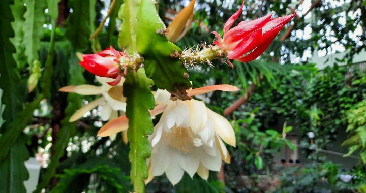 Kretingos žiemos sode pražydęs kaktusas. Artūro Patamsio nuotr.