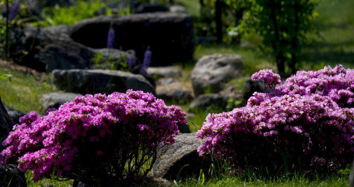 Japoniškame sode žydi azalijos.