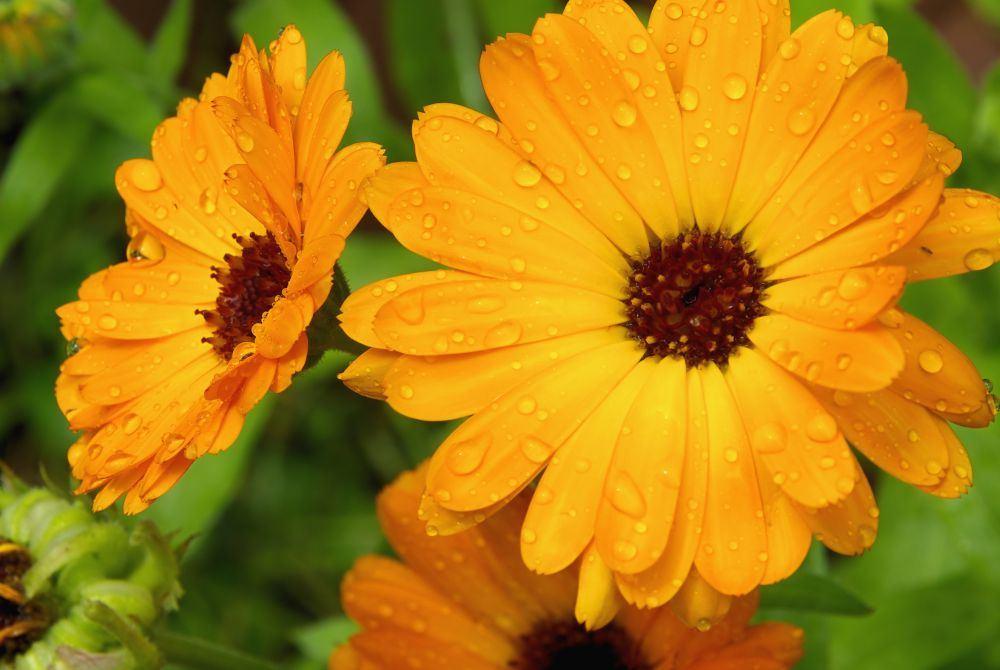 Medetka - bene naudingiausia sveikatai sodo gėlė.