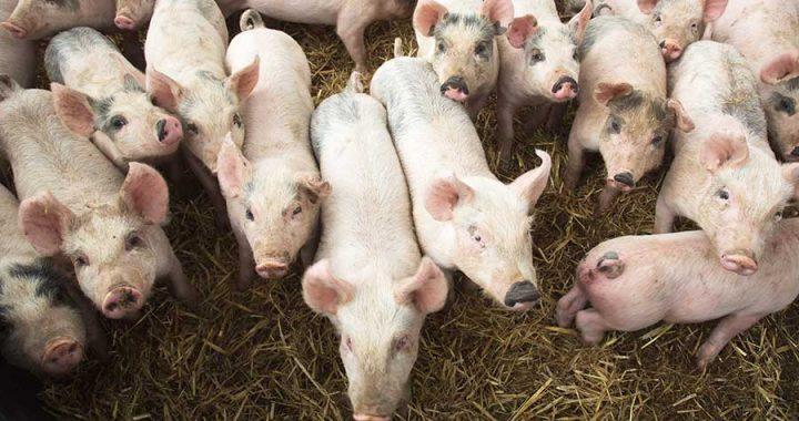 1-MAIN-weaner-pigs-3972015-28152-c-Tim-Scrivener